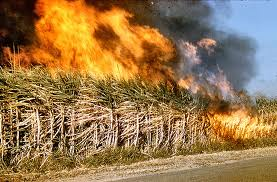 Burning of cane trash creates pollution in sugar-producing countries