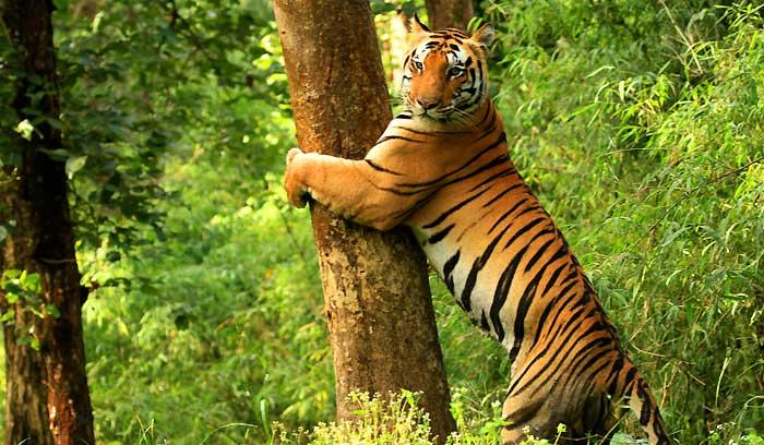 Image of: Siberian Tigers Habitat Loss Bioexplorernet Why Are Tigers Endangered Endangered Tiger Species Statuses
