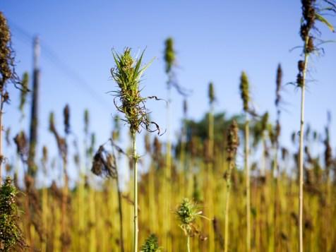 recolte-chanvre-2016-biofib-2