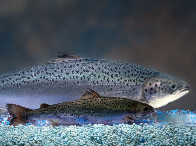 What do you want to know about AquAdvantage Salmon?