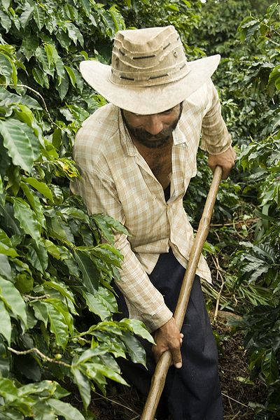 Saving coffee from a serious plant disease