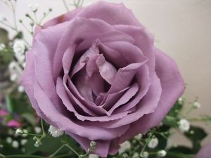 Would a GMO rose by any other name smell as sweet? GMO blue rose by Blue Rose Man via Wikipedia.