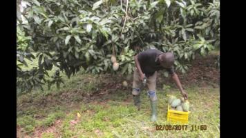 IPF Mango 3