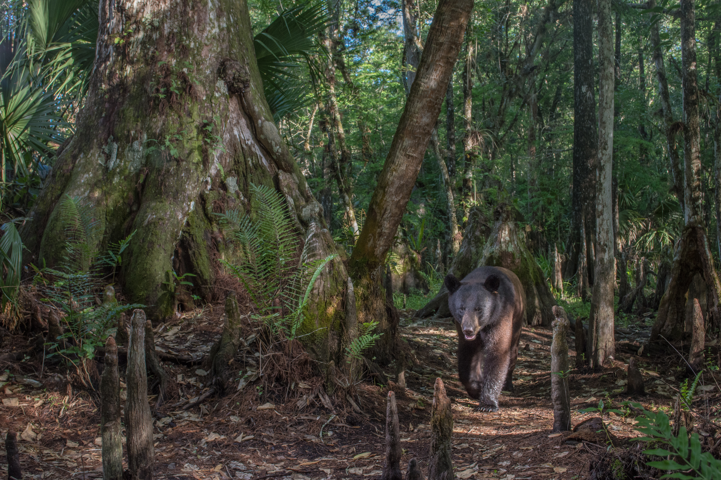In the shade of a 500-year-old cypress tree, a Florida black bear triggers a remote camera on Green Glades West Ranch, a private property adjacent to Big Cypress National Preserve and the Seminole Tribe of Florida's Big Cypress Reservation.