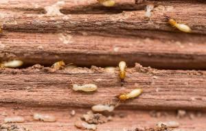 serangan rayap pada kayu