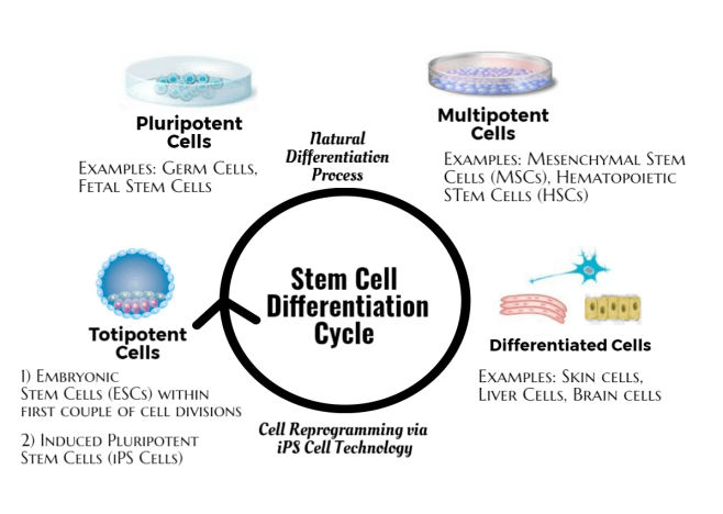 Stem Cell Differentiation Cycle
