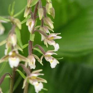 Epipactis palustris 4