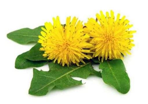 La racine de Pissenlit bio taraxacum un anti-cancer naturel puissant