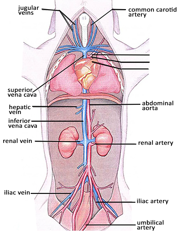 Perch Heart Diagram Labels Trusted Wiring Diagrams