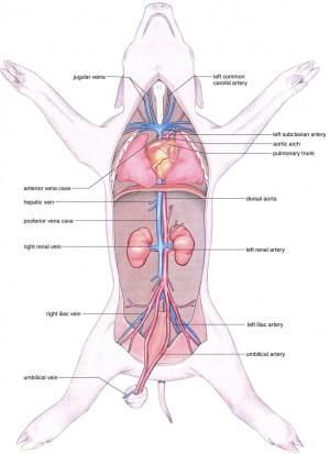 Ultimate Fetal Pig Anatomy Review