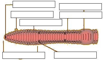 Virtual Earthworm Dissection