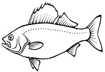 fish internal anatomy coloring