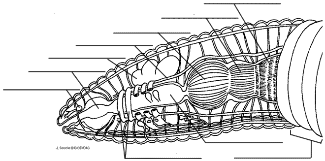 Earthworm Anatomy And Dissection
