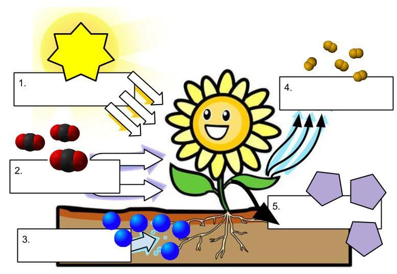 Photosynthesis Diagrams Worksheet Biology Junction Answers Diagram