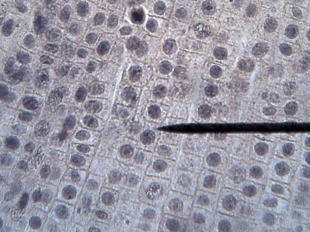 Cell Onion Root 400x