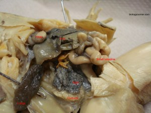 Frog Dissection, Labeled Images