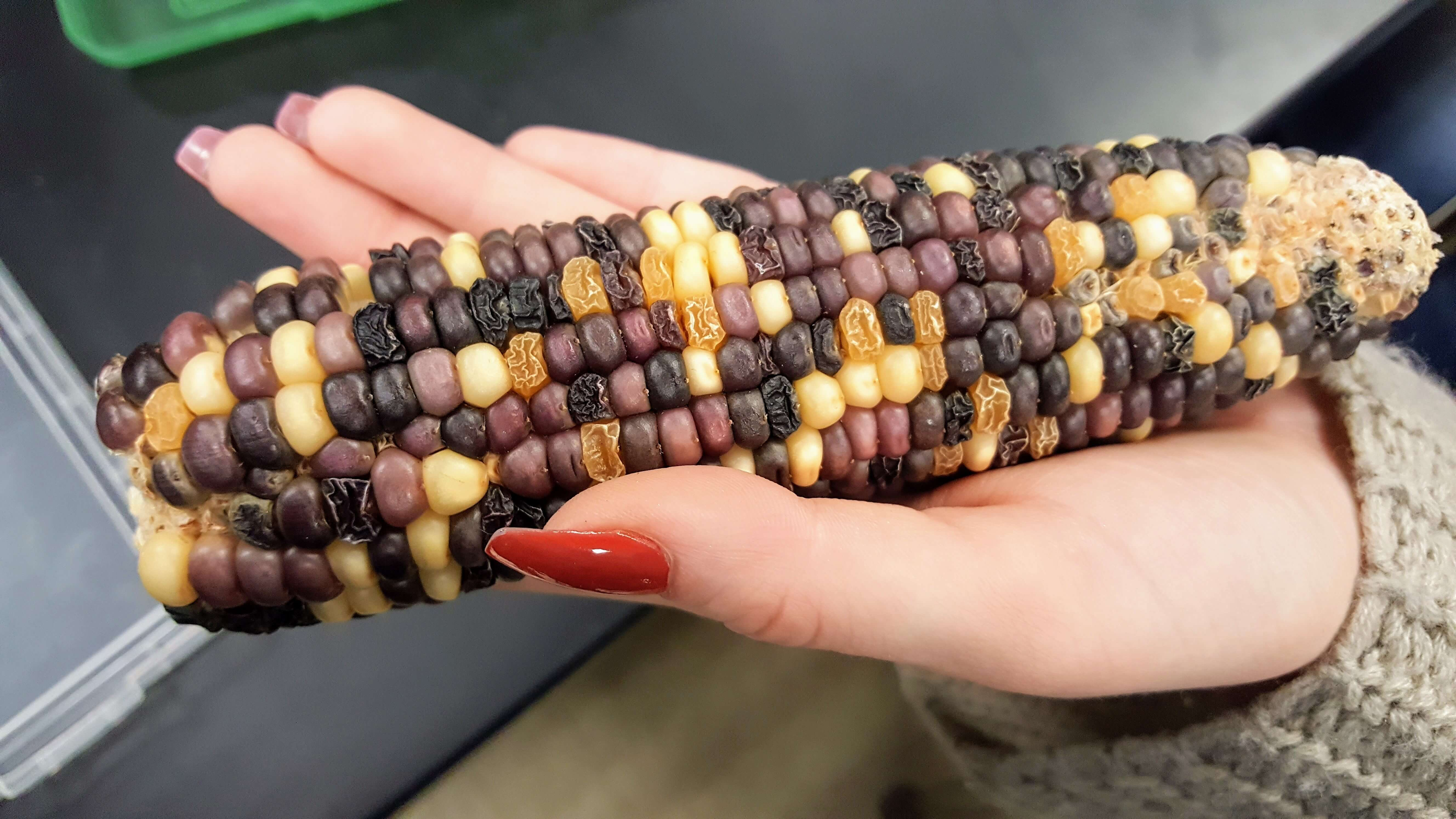Corn Genetics Amp Chi Square