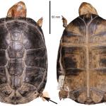 Ένα είδος υπό εξαφάνιση λιγότερο: η ιστορία της Pelusios seychellensis