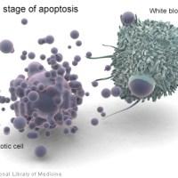 Απόπτωση - Προγραμματισμένος κυτταρικός θάνατος