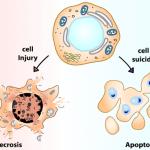 Animation: Κυτταρικός Θάνατος, Απόπτωση