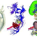 3D εμβρυϊκός άτλας αποκαλύπτει λεπτομέρειες της ανθρώπινης ανάπτυξης