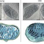 Μιτοχόνδρια: ζωντανά και χρωματισμένα