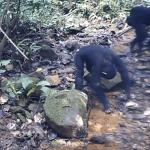 Χιμπατζήδες που καταναλώνουν καβούρια