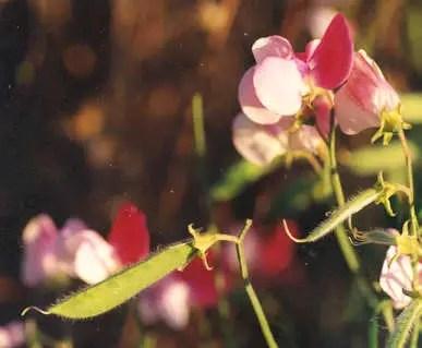 Picture of Pisum sativum