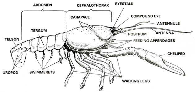 Internal Crayfish Diagram Labeled Electrical Wiring Diagrams