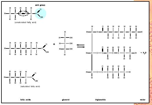 Phospholipid Glycerol Part Polar