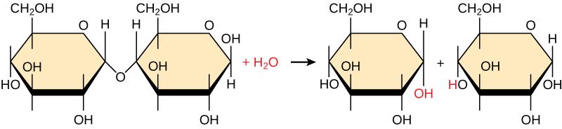 Hydrolysis of sugars
