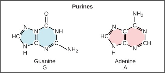 Purine Nitrogen Bases in DNA