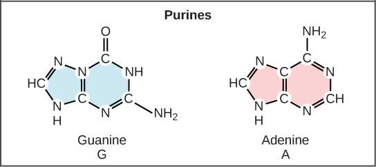 Purine Nitrogen Bases in DNA