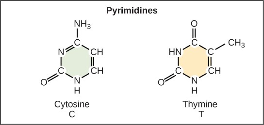 Pyrimidine Nitrogen Bases in DNA