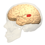 Brain with Wernicke's area colored in red