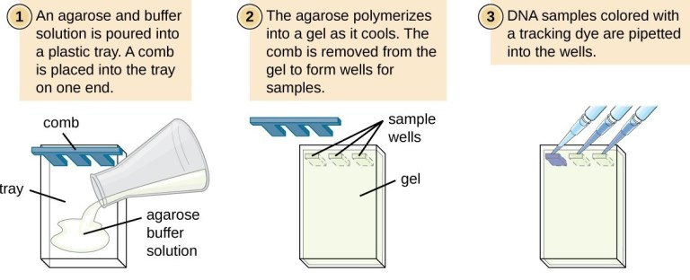 Steps for setting up a gel electrophoresis experiment