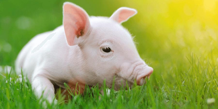 嘿,我把我的心臟養在豬的身體裡了