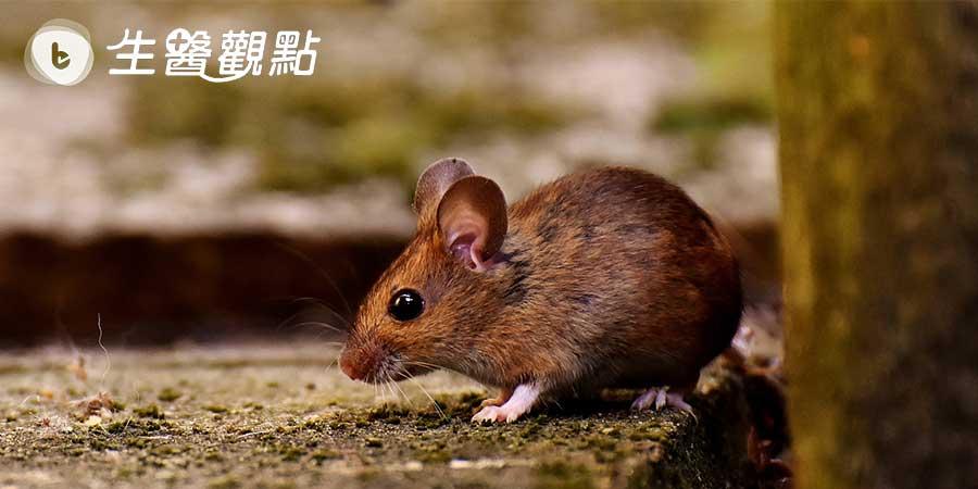 老鼠實驗發現「酶」可延長壽命