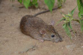 小黃腹鼠(圖:台灣師範大學提供)
