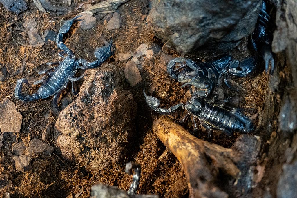 Escorpiones en BIOPARC Valencia