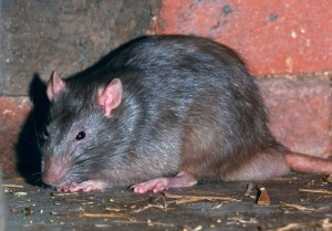 AR52K8 wanderratte rattus norvegicus common rat deutschland