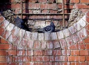 fouling Pigeons