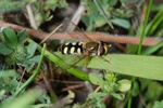 Terrasjeskommazwever (Eupeodes corollae)