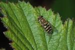 Syrphus vitripennis