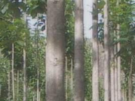 Jati Jumbo, salah satu jenis pohon jati.