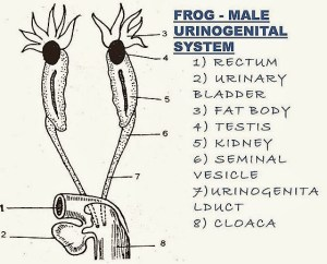COMPARISION: Frog Reproductive System  Fish Reproductive