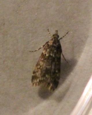 Posiblemente Eudonia mercurella
