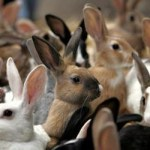 allevamenti conigli