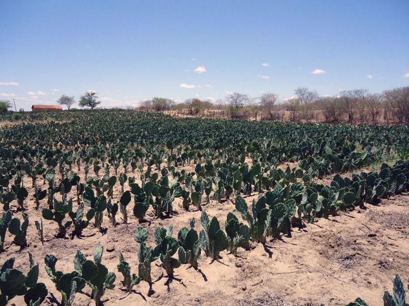 Para enfrentar a seca, Raimundo aderiu ao cultivo de palma