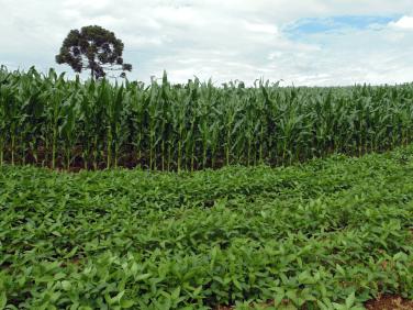 A soja é o principal produto das lavouras e junto com o milho e o feijão é o que garante o sustento da família